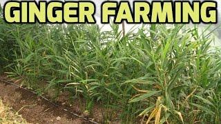 getlinkyoutube.com-Ginger farming Success Stories - Paadi Pantalu