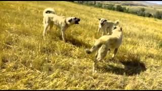 getlinkyoutube.com-Kangal boğuşları ikiye tek :)