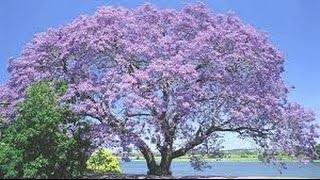 getlinkyoutube.com-باولونيا ،شجرة الأميرة paulownia