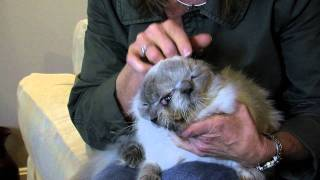 getlinkyoutube.com-Frank and Louie, two-faced cat