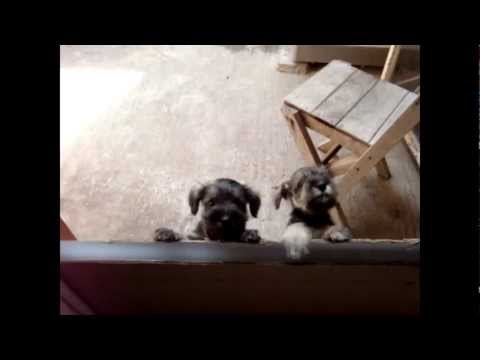 Cachorros de schnauzer de 1 mes 7 dias.