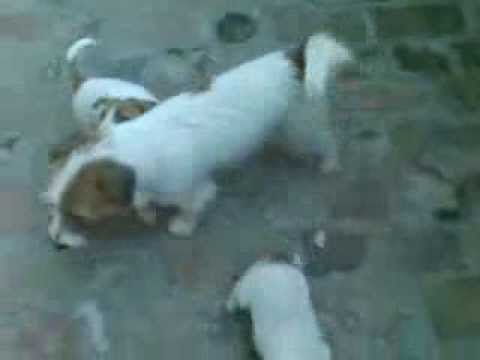 JRT PUPPIES (Zlokolica Jack Russell terijeri) 8 week old!
