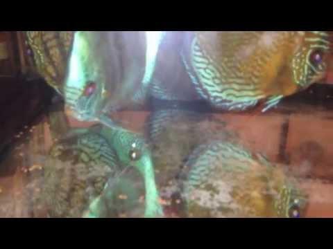 peces disco, toda la verdad