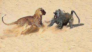 getlinkyoutube.com-Baboon vs Leopard - Baboon Win ► Jarade Chanel