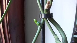 getlinkyoutube.com-Хочу детку на орхидее. Когда лучше использовать пасту, чтоб получить детку.