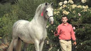 getlinkyoutube.com-Fugitivo XII - Qualified PRE Dressage Stallion
