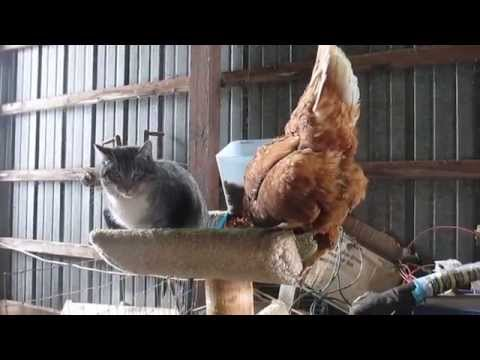 Chicken and Cat fight for Kitty food