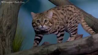 Black-Footed Cats on Exhibit | Prospect Park Zoo