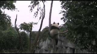 getlinkyoutube.com-The best ever video of Giant panda cub climbing tree