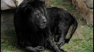 getlinkyoutube.com-BLACK LIONS MYTH & other Real Lion Hybrid Facts