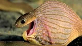 getlinkyoutube.com-Bagaimana ular makan telur