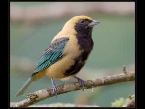 Saíra-amarela (Tangara cayana)