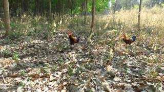 getlinkyoutube.com-ต่อไก่ป่า บักซุบเปอร์ สกลนคร