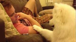 getlinkyoutube.com-Samoyed puppy hugs #2