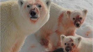 getlinkyoutube.com-Ice Killers - Arctic Cold Predators (Nature Wildlife Documentary)
