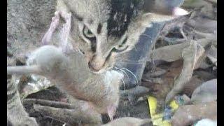 getlinkyoutube.com-【閲覧注意】ネズミを食べる猫3【ラーメンの様に内臓を食べる】