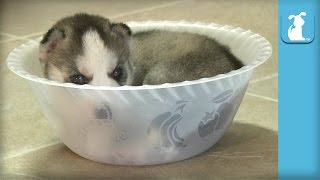 getlinkyoutube.com-Tiny Husky Puppy Can't Get Out Of Tiny Bowl - Puppy Love