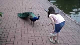 getlinkyoutube.com-Peacock Scare