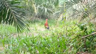 getlinkyoutube.com-ayam hutan pikat king