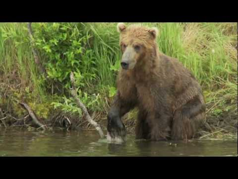 Alaskan Brown Bears part two