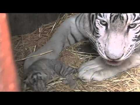 Nacen en Mexquitic, tigres blancos de bengala