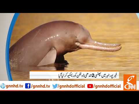 Two stranded dolphins at Khairpur canal rescued