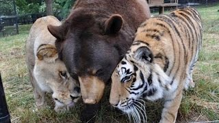 getlinkyoutube.com-Lion, Tiger and Bear Are Inseparable After Being Found Abused in Basement