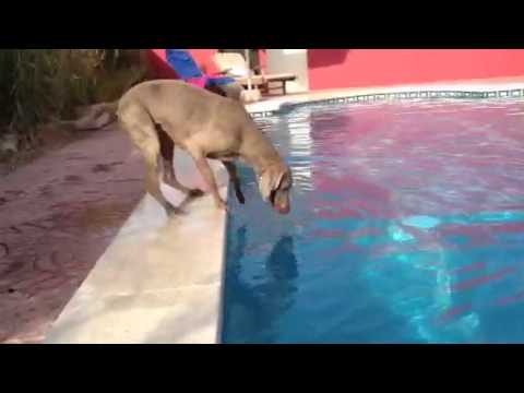 Dog Maya Weimaraner Hund, kann die Frisbee auch ohne ins Wasser zuspringen, aus dem Pool holen