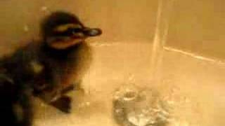 Ducklings First Bath... (Sully Teaches the water a lesson)