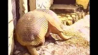 getlinkyoutube.com-Armadillo gigante.avi