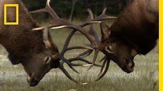 getlinkyoutube.com-The Yearly Elk Brawl   Untamed Americas