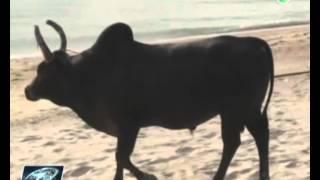 getlinkyoutube.com-วัวชนบนหาดสทิงพระ