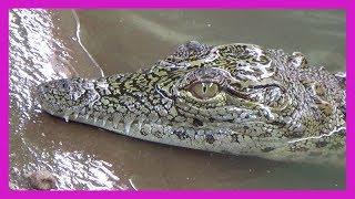 getlinkyoutube.com-Struggling Alligators STABBED in Shocking Video