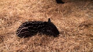 getlinkyoutube.com-Minnesota Zoo Malayan tapir calf
