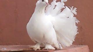 getlinkyoutube.com-White Dove Dancing pigeon - Birds videos