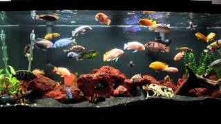 getlinkyoutube.com-10 Minutes of an African Cichlid Fish Tank