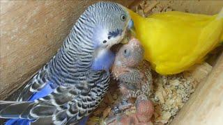 getlinkyoutube.com-Casal de periquito australiano alimentando filhotes - (Full HD 1080p)