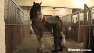 getlinkyoutube.com-UK's tallest horse to be at Queen's Diamond Jubilee