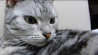 getlinkyoutube.com-猫に内緒で外泊してみたら→ 言い訳なんて聞きたくにゃい!トコトン嫌われた様子で拒絶された… -My cat doesn't want to look at my face