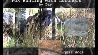 getlinkyoutube.com-Fox Hunting with Lurchers