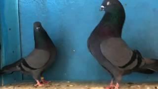 getlinkyoutube.com-Ustad Boota Farooq k Pakistani kabootar pigeons pi