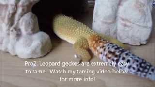 getlinkyoutube.com-Pros & Cons of Owning a Leopard Gecko