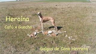 getlinkyoutube.com-Galgos de Cono Herrera