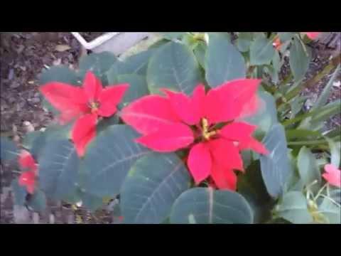Flor de natal ou bico de papagaio