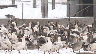 Разведение гусей в Новом Осколе