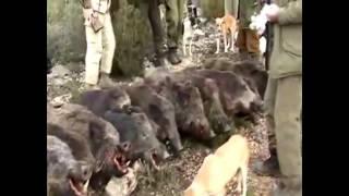 getlinkyoutube.com-صيد الخنزير البري في تونس - بعثة صيادين من النرويج