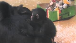 getlinkyoutube.com-Gorilla Baby - Braunkopfklammeräffchen - Orangutans - Tierpark Hellabrunn