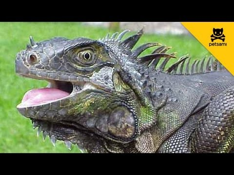 Why kissing an iguana is a bad idea