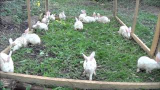 getlinkyoutube.com-Meat Rabbits, Solid Ground? Plus Chores And Cleaning The Barn. Happy Bunnies.