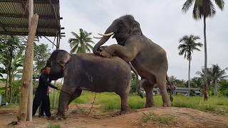Elephant Mating and Sperm Collection (MUST WATCH) 2018
